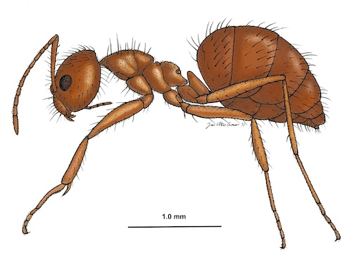 Tawny crazy ants were first discovered in the US in 2002 by a pest control operator in a suburb of Houston, and have since established populations in 21 counties in Texas, 20 counties in Florida, and a few sites in southern Mississippi and southern Louisiana. Image credit: By Joe MacGown, Mississippi Entomological Museum