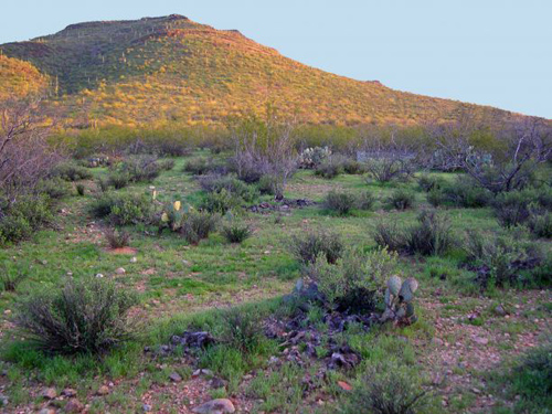 Looking toward Tumamoc Hill from the northwest side. (Photo courtesy of the Venable lab/UA department of ecology and evolutionary biology)