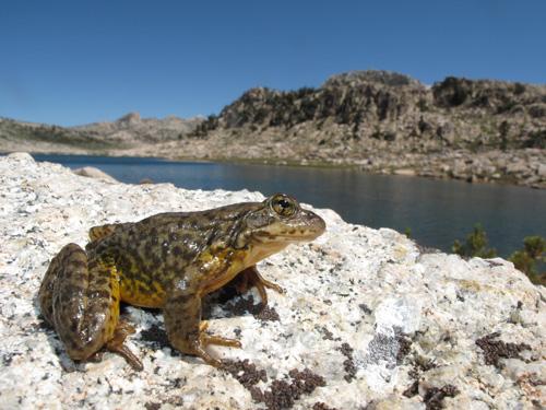 A Sierra Nevada yellow-legged frog (Rana sierrae) scans the landscape in Yosemite National Park. Location: Yosemite National Park, CA, USA. Image credit: Devin Edmonds, USGS