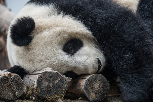 A young panda snores happily after tiring itself out playing. Photo by Kurt Stepnitz