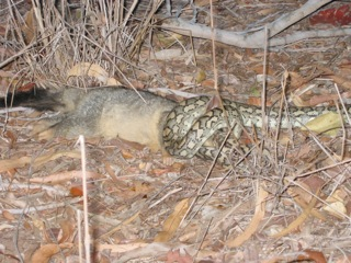 Feeding relationships within natural ecosystems, such as this python capturing a juvenile possum, will be altered by climate change, life scientists report. This could have significant impacts for the survival of species and the stability of ecosystems. Image credit: Anthony Dell