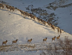 Elk traveling on winter range in the northwestern Greater Yellowstone Ecosystem after crossing the Madison River near Ennis, Montana, 2008. Location: MT, USA. Image credit: Jonny Armstrong, Wyoming Cooperative Wildlife Research Unit/Univ. of Wyoming (Click image to enlarge)