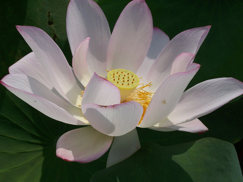 Nelumbo nucifera from China, more commonly known as the 'sacred lotus'. Image credit: Jane Shen-Miller /UCLA