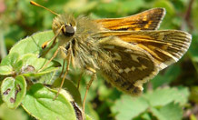 The silver-spotted skipper, needs temperatures of 25°C to become fully active. Image credit: Zoe Davies.