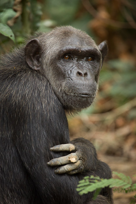 Ashmael, a great ape, poses for his portrait. Image credit: Ian Bickerstaff