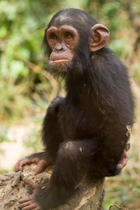 Belinga, a great ape. Image credit: Ian Bickerstaff