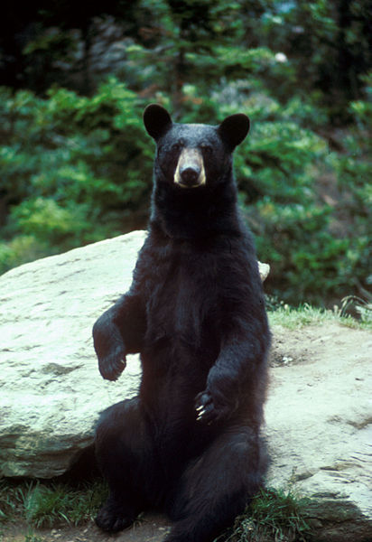 The black bear, Ursus americanus, has returned to Missouri, according to Lori Eggert, associate professor of biological sciences in the University of Missouri's College of Arts and Science Image credit: Mike Bender/U.S. Fish and Wildlife Service