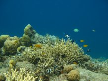 Fish normally use the acoustic cues from fish and invertebrate reef residents to find suitable habitat. Image credit: Universitiy of Exeter