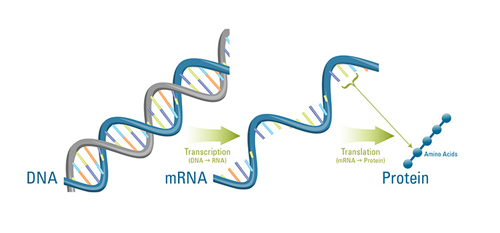 A cell's DNA carries the instructions, or genes, to make the proteins that are needed to build cell structures and to perform necessary functions. To make a protein, the instructions in the DNA are transcribed, or copied, to a molecule of messenger RNA (mRNA). Other molecules in the cell then help translate those instructions to assemble the protein by stringing together more than 20 different kinds of amino acids in a specific sequence. Messenger RNA provides vital clues about the processes a cell uses to survive, because it shows which genes are being used at a given time. (Illustration by Katherine Joyce, Woods Hole Oceanographic Institution)