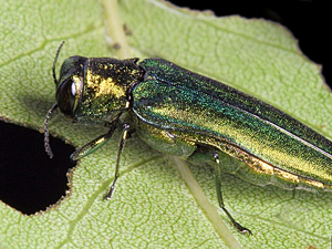 This image by David Cappaert of Michigan State University shows the shimmering colors of the emerald ash borer.