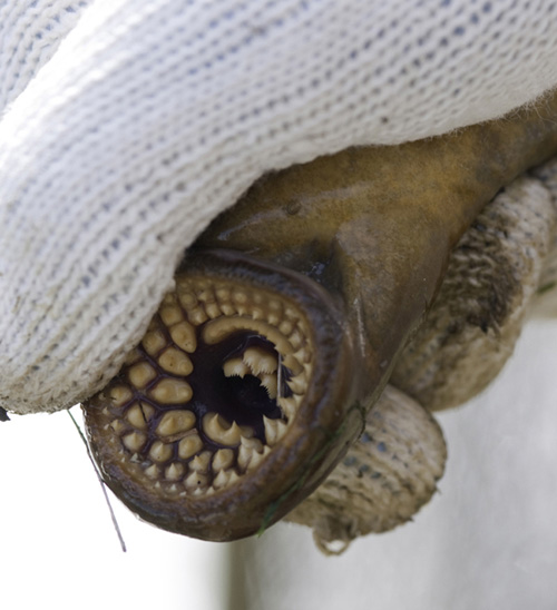 Sea lampreys use their sharp teeth to attach themselves to their prey. A team of MSU scientists is looking for ways to reduce or eliminate the invasive species from the Great Lakes. Photo by Kurt Stepnitz.