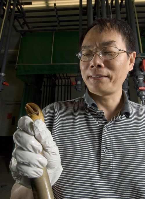 Fisheries and wildlife professor Weiming Li holds a sea lamprey. Li and his team are studying the reproductive habits of the invasive species, hoping to come up with ways to reduce or eliminate it from the Great Lakes. Photo by Kurt Stepnitz.