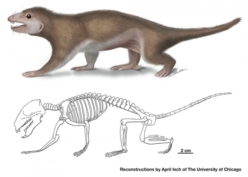 """Skeletal features show that Megaconus was a terrestrial animal with an ambulatory (""""walking"""") gait, similar to a modern rock hyrax or armadillo. This new fossil species has features in common with modern mammals, but its first cheek tooth has a large, cone-shaped cusp, resulting in its name Megaconus mammaliaformis (""""ancestral mammal with a big cusp""""). Illustration by April Isch"""