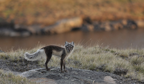 Arctic fox on the tundra of West Greenland. Image credit: Jeff Kerby, Eric Post lab, Penn State Univ.