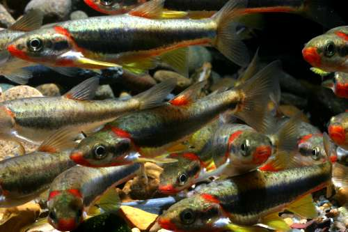 Blackside dace are a type of minnow with a red underbelly and a black stripe down their sides. They are found only in parts of Tennessee, Kentucky, and western Virginia. The image shows a school of Blackside dace. Image credit: J. R. Shute, Conservation Fisheries, Inc
