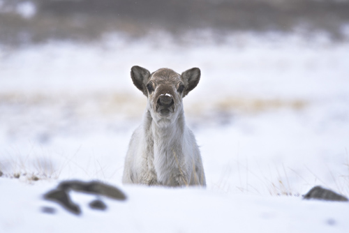 Caribou in early May. Image credit: Jeff Kerby, Eric Post lab, Penn State Univ.