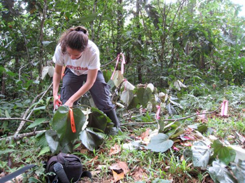 Cathy Hulshoff, a graduate student in Brian Enquist's group, takes measurements on a tree in the rainforest. (Photo courtesy of Lisa Patrick Bentley)