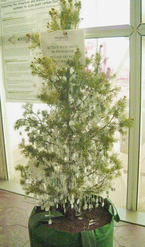 What looks like a christmas tree is actually a study subject: Bentley's team, including several UA undergraduate students, carefully attached labels to every single branch of several trees to keep track of them. (Photo courtesy of Lisa Patrick Bentley)