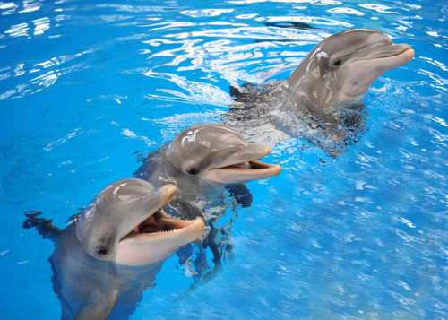 Dolphins have the longest social memory for a non-human species, according to a new UChicago study that examined more than 50 bottlenose dolphins. Jason Bruck, a UChicago postdoctoral scholar, found that dolphins could remember the signature whistles of former tank mates for more than 20 years. Photo by Jim Schulz/Chicago Zoological Society