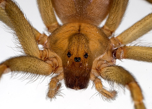 Loxosceles laeta, a South American brown spider, is one of three species whose venom was tested by UA researchers and found to produce a different chemical product than scientists previously believed. (Image credit: Jonathan Coddington)