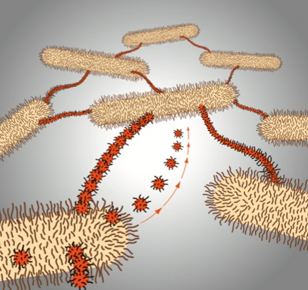 This model shows the role of vesicles, vesicle chains, and membrane tubes in M. xanthus biofilms. The scientists believe these connections help cells exchange signals and material. (Image credit: Auer lab)