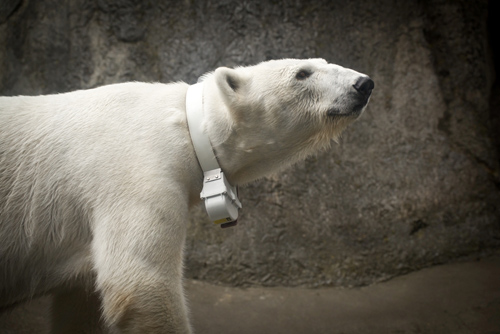 Tasul, an Oregon Zoo polar bear, sports a high-tech collar that will help researchers study her endangered wild counterparts in the Arctic. Photo by Michael Durham, courtesy of the Oregon Zoo.