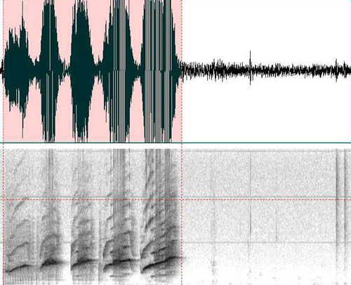 These spectrograms show the signature whistles of dolphins named Hastings and Kai. They are both three-second windows with a frequency range of 0-50 kHz. The intensity of the spectrum at the top shows the loudness of Kai's whistle. Courtesy of Jason Bruck