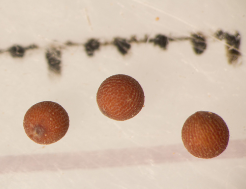Seeds of Sahara mustard, or Brassica tournefortii, an invasive annual plant studied by Li. (Image courtesy of Max Li)