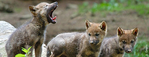 Willkommen Wölfe: Vor zwei Wochen hörten Wildhüter im Elsass die ersten Laute der Wolfsjungen. Image credit: NABU.de