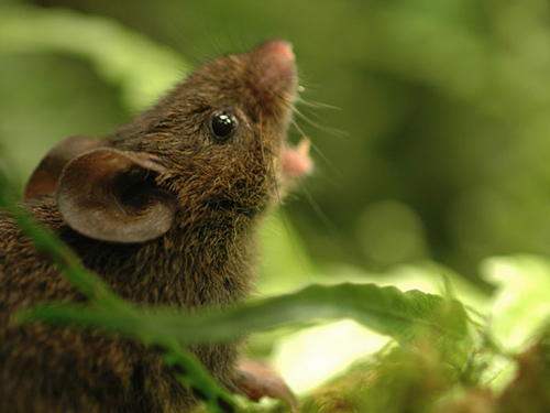 Alston's singing mouse. Photo by Bret Pasch