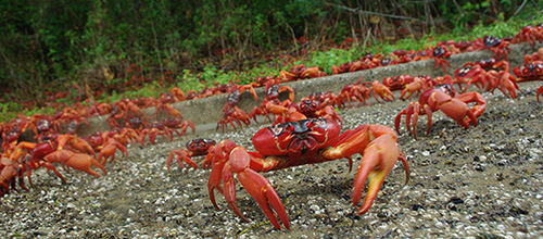 Each year, millions of Christmas Island red crabs make a two-week journey to the coast to mate. The migration begins in November at the start of the rainy season, and female crabs must release their eggs into the ocean before the morning of the high tide that precedes the December new moon. The researchers found that a late or light rainy season can delay or entirely cancel this meticulous process. Photo by Allison Shaw, Department of Ecology and Evolutionary Biology