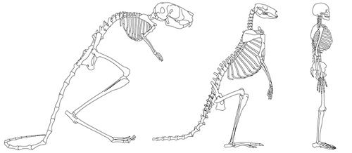 Comparison of the skeletons of three bipedal mammals: an Egyptian jerboa, an eastern gray kangaroo and a human. Image credit: The University of Texas at Austin