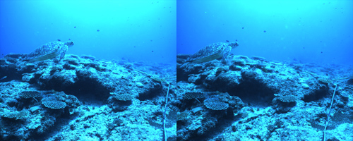 High-resolution machine vision cameras capture images of zooplankton and other underwater scenes and stereo images, like the turtle above, of fish communities, providing a picture of environmental impact on coral reefs. (Photo courtesy of OIST)