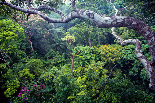 A Princeton University-based study found that a unique housing arrangement between trees in the legume family and the carbo-loading rhizobia bacteria may determine how well tropical forests can absorb carbon dioxide from the atmosphere, especially forests recovering from exploitation. The researchers found that legume trees gave tracts of land that were pasture only 12 years before the ability to store 50 metric tons of carbon per hectare (2.47 acres), which equates to roughly 185 tons of carbon dioxide, or the exhaust of some 21,285 gallons of gasoline. The photo above is of a tropical forest on Barro Colorado Island, Panama. (Photo by Marcos Guerra, Smithsonian Tropical Research Institute)