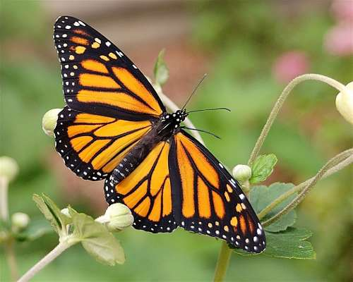 Monarch butterfly resting on a flower petal. Image provided by Fred Ormand and Joyce Pearsall. Photographer: Karen Oberhauser, University of Minnesota