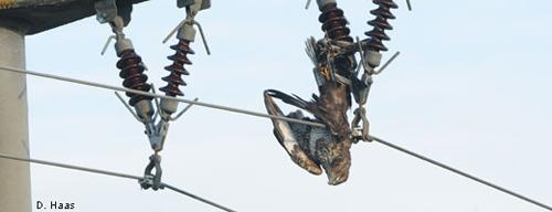 Jährlich werden wie dieser Mäusebussard Tausende Vögel Opfer des Stromtods. Image credit: NABU.de