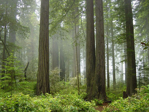 Coast Redwood forest and understory plants — in Redwood National Park, California. Image credit: Michael Schweppe (Image source: Wikipedia)