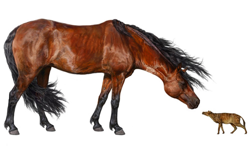 An artist's rendering of the early horse Hyracotherium (right) alongside a modern-day horse. Researchers found that Hyracotherium body size decreased 19 percent during a global warming event about 53 million years ago. Image credit: Danielle Byerly, University of Florida