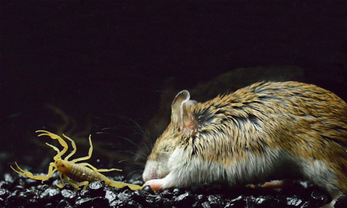 A grasshopper mouse attacks a bark scorpion. Researchers have discovered that the mouse feels little pain from the sting of the scorpion. Image credit: Ashlee Rowe.