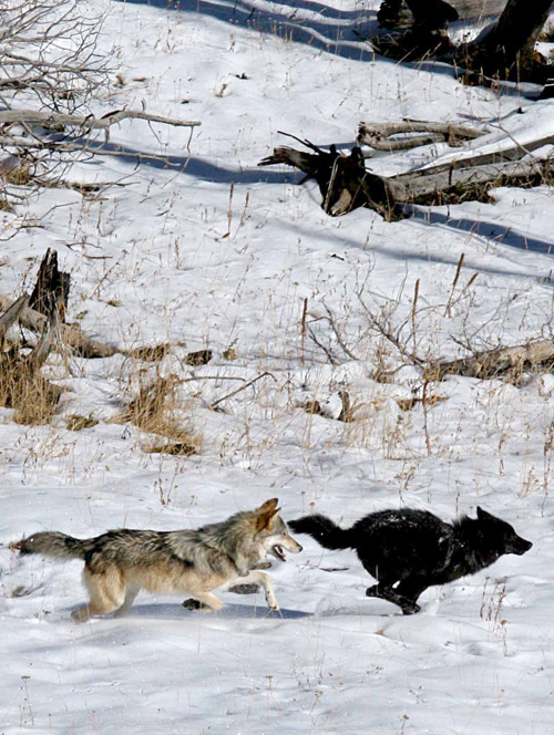 Two wolves from the Druid Peak pack running in Yellowstone National Park. Image credit: Daniel Stahler/National Park Service