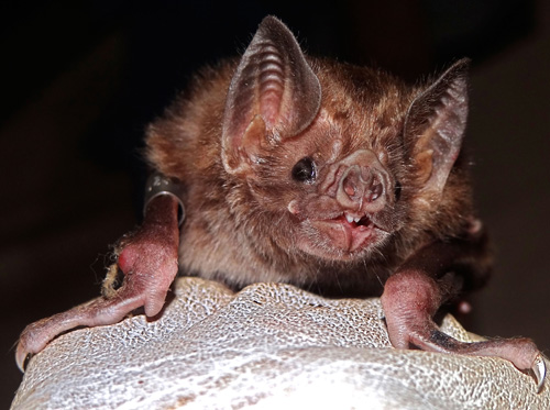 Close-up of a common vampire bat. Photo by Daniel Streicker