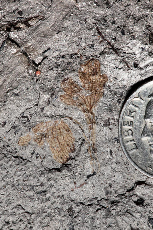 The compound leaves of Potomacapnos apeleutheron identify the 120 million-year-old plant fossil as the earliest known North American member of the eudicots, the largest group of flowering plants. The fossil plant, which resembles a modern bleeding heart, was found in a fossil bed at Dutch Gap, VA. Photo credit: Nathan Jud