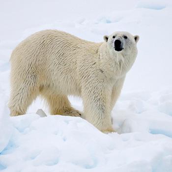Eisbär Ursus maritimus. Image credit:  © Sindre Kinneroed / WWF