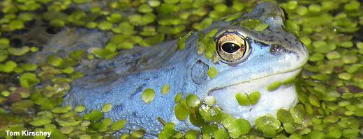 Für viele Tier- und Pflanzenarten – wie zum Beispiel den Moorfrosch – bieten Moore einen wichtigen Lebensraum. Image credit: NABU.de