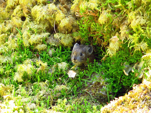 A small mammal known as a pika peers out from thick moss in Oregon's Columbia River Gorge. A University of Utah study found the pikas survive warmer low elevations in Oregon by eating a diet of 60 percent moss, compared with their grassier diet at high elevations. Photo Credit: Jo Varner, University of Utah