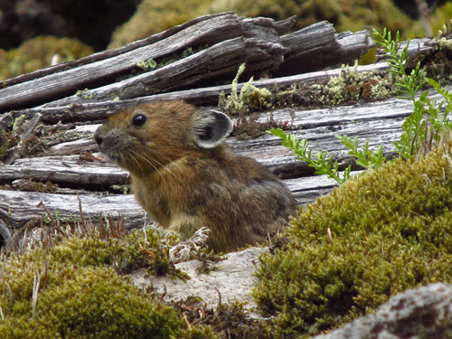 A rabbit relative known as a pika sits among wood, moss and rocks on rockslide or talus slope in Oregon's Columbia River Gorge. A University of Utah study found the pikas -- which normally live at much higher elevations and are threatened by climate change – survive at nearly sea level in Oregon by eating more moss than any other known wild mammal. Photo Credit: Mallory Lambert, University of Utah