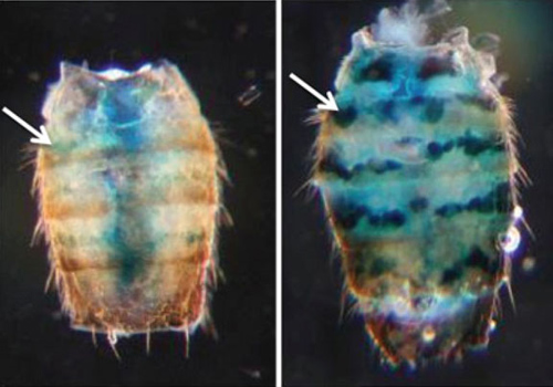 """Some genes need to be silenced for health and long life. Researchers used """"reporter"""" genes to see whether changes associated with aging would reduce fruit flies' ability to silence those genes. Tissues with reporter genes glowed blue. The fly on the left is 10 days old; on the right, 50. Image credit: Helfand lab/Brown University"""