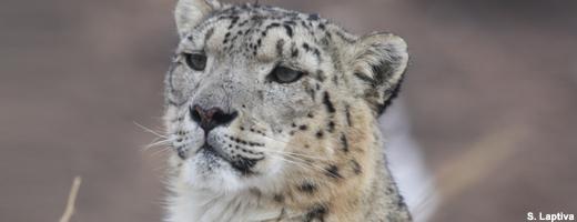 Der Schneeleopard ist eine der am stärksten gefährdeten Großkatzen der Welt. Image credit: NABU.de