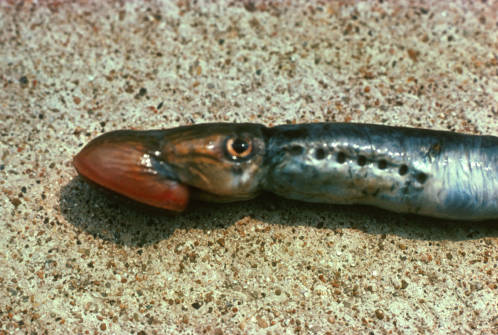 """The sea lamprey, an eel-like fish, regrows the neurons that comprise the long nerve """"highways"""" that link the brain to the spinal cord. Image credit: University of Missouri"""