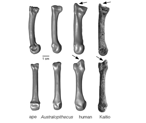 The styloid process is a projection of bone. Ward and her team found a styloid process at the end of a wrist bone more than 1.42 million years old, indicating this anatomical feature existed more than half a million years earlier than previously known. Image credit: University of Missouri